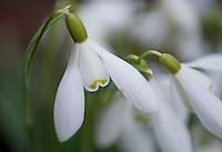 Galanthus, Snowdrops close-up.