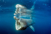 basking shark feeding, Cetorhinus maximus, tangled in marine debris, plastic band hooked over snout, Cornwall, England, United Kingdom, Great Britain, British Isles, North Atlantic