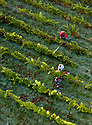 """07/09/18<br /> <br /> ***With Video***<br /> <br /> Grape picking starts at Amber Valley Wines in Wessington, Derbyshire. Managing Director, Barry Lewis, said: """"The hot summer means that yields from the vineyard are expected to be three times better than normal, reflecting a UK-wide harvest that is likely to be the best since the second world war"""".<br /> <br /> <br /> All Rights Reserved: F Stop Press Ltd. +44(0)1335 344240  www.fstoppress.com www.rkpphotography.co.uk"""