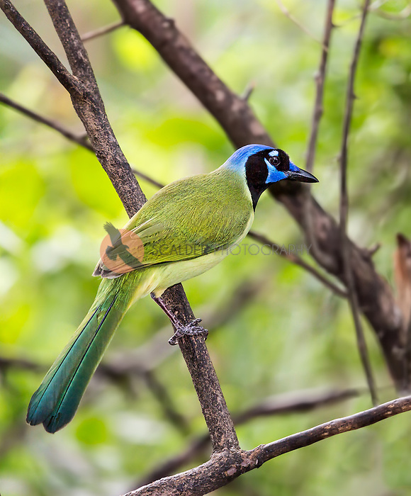 A very colorful Green Jay perched on a tree branch in forest
