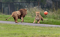 BNPS.co.uk (01202) 558833. <br /> Pic: CorinMesser/BNPS<br /> <br /> Pictured: Harry and Malaika play with the ball.<br /> <br /> It's Harry Mane - the pride of England.<br /> <br /> Harry the lion looks to inspire the Three Lions for their Euro 2020 quarter-final match with his impressive footballing skills.<br /> <br /> Just like England's Harry Kane, the male lion is the leader of the pride of lions at Longleat Safari Park in Wiltshire.<br /> <br /> And when keepers tossed in a football to stimulate the group, Harry was the first one onto the pitch.<br /> <br /> He showed off his athletic prowess by stretching up to a tree branch to dislodge a red and white ball with the Three Lions emblem emblazoned on it.