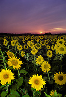 Field of sunflowers with sun setting, Vermont USA