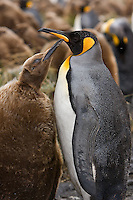A young King Penguin (Okum) asks for food from Mom at snowy Right Whale Bay, South Georgia Island, November 2007