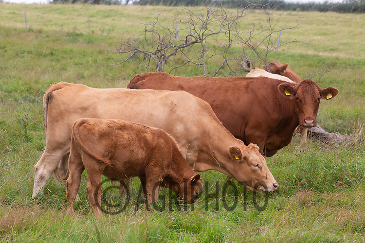 10-8-2021 Suckler cows and calves grazing <br /> ©Tim Scrivener Photographer 07850 303986<br />      ....Covering Agriculture In The UK....