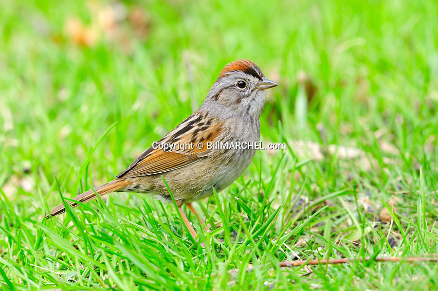 01089-001.15 Swamp Sparrow is searching for insects or seeds on ground. Food, feed, survive, marsh.