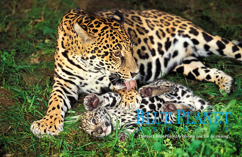 jaguar, Panthera onca, adult, female, mother, cleaning, licking cub