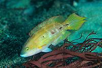 Two spot wrasse, Oxycheilinus bimaculatus, Shikine-jima island, Tokyo, Japan, Pacific Ocean