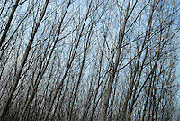 cascina Pirola, a Zelata di Bereguardo (PV), Agricoltura Biodinamica,  filosofia antroposofica di Rudolf Steiner . Pioppeto