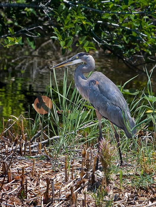 Great Blue Heron walking in marsh in evening light