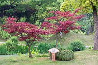 Yangzhou, Jiangsu, China.  Japanese Maple, Slender West Lake Park.