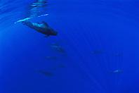 short-finned pilot whales, Globicephala macrorhynchus, accompanied by oceanic whitetip sharks, Carcharhinus longimanus, off Kona Coast, Big Island, Hawaii, Pacific Ocean
