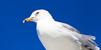 Seagull close-up portrait over a blue sky, in Miami Beach Art Deco district, Florida USA