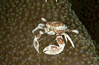 Spotted Porcelain crab, Neopetrolisthes maculata, Lembeh Strait, North Sulawesi, Indonesia,