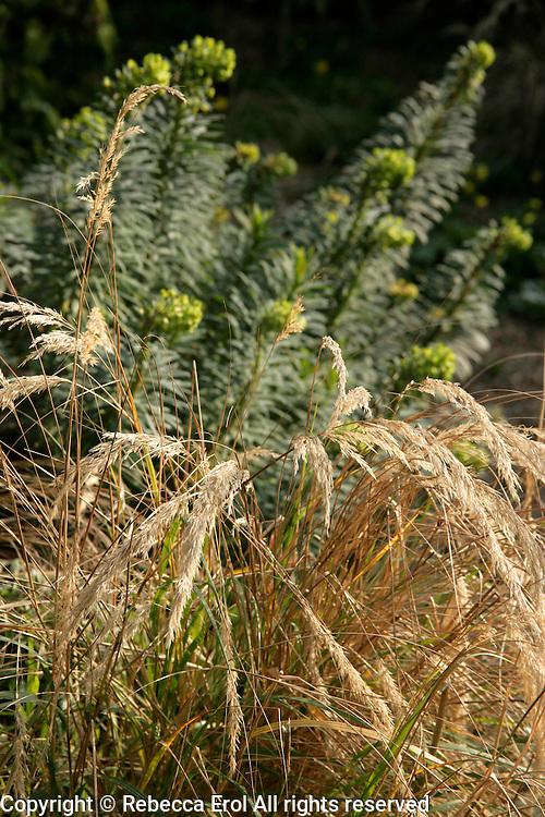 Early spring scene: Stipa calamagrostis and Euphorbia characias wulfenii