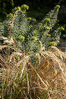 Early spring scene: Stipa calamagrostis and Euphorbia characias wulfenii