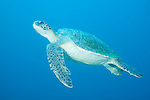 Santa Fe Island, Galapagos, Ecuador; a Green Sea Turtle (Chelonia mydas) swiming through the blue water , Copyright © Matthew Meier, matthewmeierphoto.com All Rights Reserved