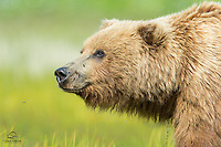 Female Brown Bear (Ursus arctos) scenting out intruders - other bears - as she leads her two spring cubs along the meadow.  Lake Clark National Park, Alaska.