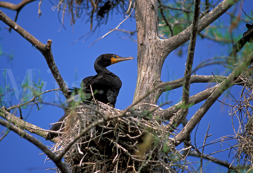 Double-crested Cormorant (Phalacrocorax auritus) on the nest in south Florida