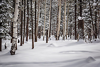 The winter forest in New Mexico's Jemez Mountains.