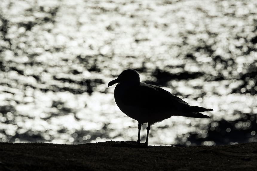 Seagull silhoutte against the ocean water, Cape Cod, USA