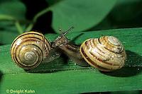 1Y08-119z   Land Snail - east coast land snail - Sephia hortensis