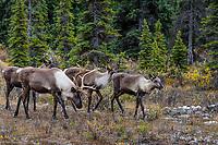Woodland Caribou or forest-dwelling caribou, (Rangifer tarandus caribou) bull with three cows.  British Columbia.  Fall.