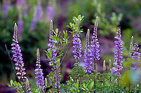 Broadleaf Lupine (Lupinus latifolius), Mt. St. Helens National Volcanic Monument, Washington, US