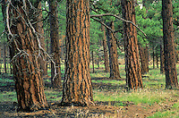 Old growth ponderosa pine forest after controlled burn, Fort Valley Forest Restoration Project, Plot #12, Coconino National Forest, Flagstaff, Arizona, AGPix_0283.