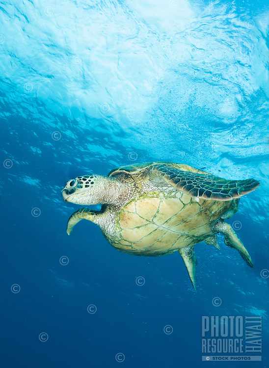 A green turtle, or honu, swimming in blue waters off of Waianae, Oahu, Hawaii.