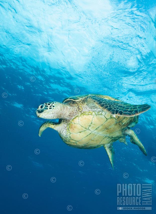 A green turtle, or honu, swimming in blue waters off of Waianae, Oahu, Hawaii.