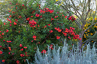 Tecoma 'Crimson Flare' flowering tree; South Coast Research and Extension Center; University of California ANR