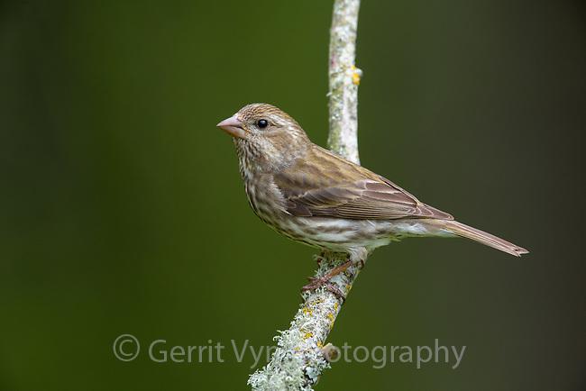 Purple Finch (Haemorhous purpureus). Multnomah County, Oregon. April.