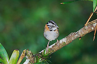 Rufous-collared Sparrow, Zonotrichia capensis, adult perched, Bosque de Paz, Central Valley, Costa Rica, Central America, December 2006