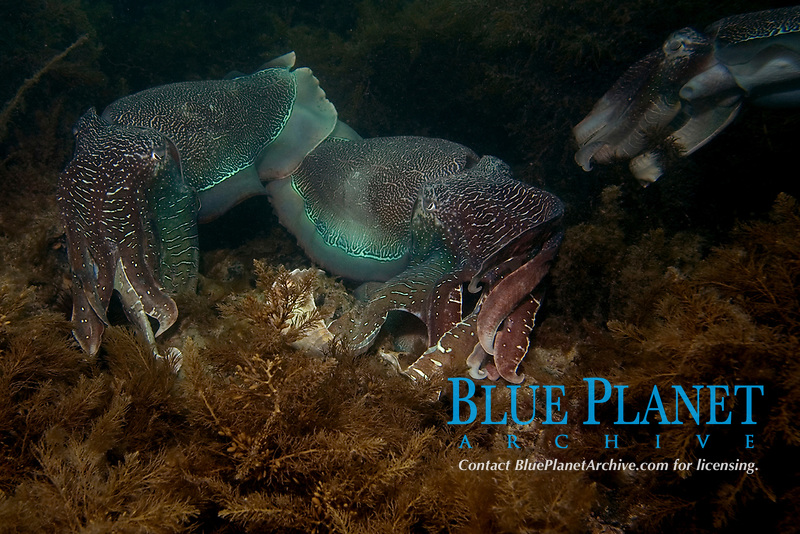 Australian Giant Cuttlefish, Sepia apama, Two males display over an egg laying female while a smaller male attempts to Sneak in and mate with her himself, Whyalla, South Australia, Australia, Southern Ocean
