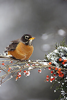 Robin, Turdus migratorius, perches on branch of holly berries in winter snow and ice