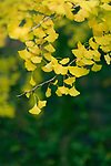Artistic closeup of beautiful, fan shaped Ginkgo biloba yellow tree leaves in Japanese garden. Gingko tree is a living fossil. Osaka, Japan. Image © MaximImages, License at https://www.maximimages.com