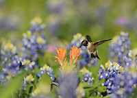 Black-chinned Hummingbird (Archilochus alexandri), adult male feeding on blooming Prairie Paintbrush (Castilleja purpurea var. lindheimeri) among Texas Bluebonnet (Lupinus texensis), Hill Country, Texas, USA
