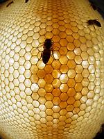 On a recently built comb, nurse bees take care of the larvae, which are immersed in a mix of pollen and honey. The wax is a communication medium. The bees make it continuously vibrate and it is possible to predict the health and the future actions of the colony by analyzing these signals.<br /> Sur un rayon récemment construit des nourrices s'occupent des larves qui baignent dans un mélange de pollen et de miel. La cire est un média de communication. Les abeilles la font vibrer en permanence et il serait possible de prédire l'état de santé ou les futures actions de la colonie en analysant ces signaux.