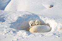 Polar bear, cub, 4 weeks old, Ursus maritimus, Churchill, Manitoba, Canada, polar bear, Ursus maritimus