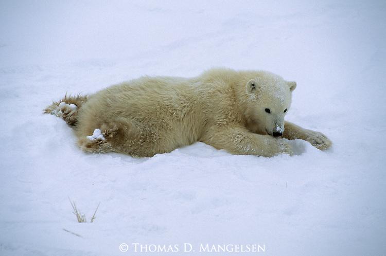 A polar bear cub lays in the snow in Canada.