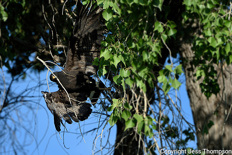 Common Black Hawk breaks a limb with its beak and begins way to nest area, Big Bend National Park