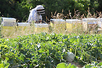 Beehive and beekeeper in a watremelon field for pollination