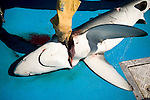 A shark is killed after taking bait intended for Blue Fin tuna, Gulf of St. Lawrence near North Rustico, Prince Edward Island, Canada.