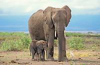 Elephants (Loxodonta africana), Samburu, Kenya, Africa