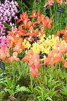 Table Mountain orchids Disas - Dave Parkinson Exhibit, Hampton Court Palace Flower Show