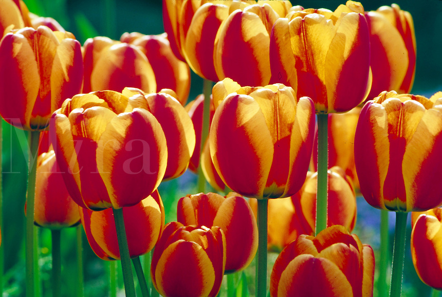 field of red and yellow tulips in sunlight. botany, bulbs, plants, gardens, ground cover, bloom, blooms, California, garden.