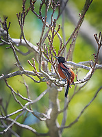 Male Orchard Oriole perched in tree  with bare branches