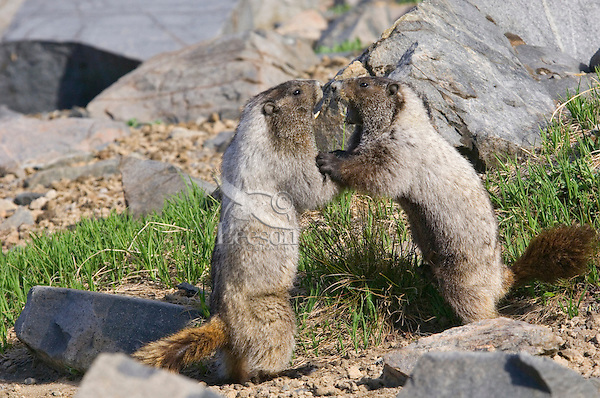 Hoary Marmots (Marmota caligata) wrestle in alpine area of Cascade Mountains, Pacific Northwest.  Summer.