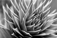Monkey Puzzle tree tip (Araucaria acaucana). Oregon