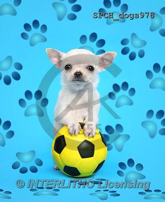 Xavier, ANIMALS, REALISTISCHE TIERE, ANIMALES REALISTICOS, dogs, photos+++++,SPCHDOGS978,#A#